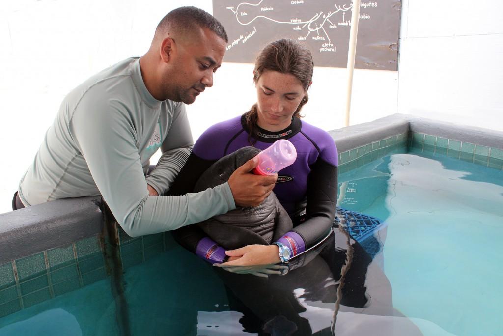 Nelmarie Landrau y Raúl Rosario del Centro de Conservación de Manatíes alimentan con una solución de leche elemental con electrolítos a la manatí rescatada el pasado miércoles en Mayagüez.